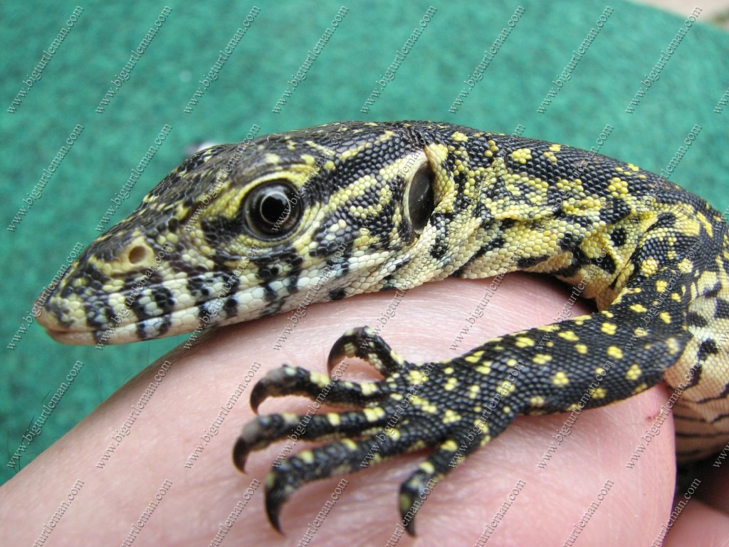 the gallery for baby nile monitor lizard. Black Bedroom Furniture Sets. Home Design Ideas