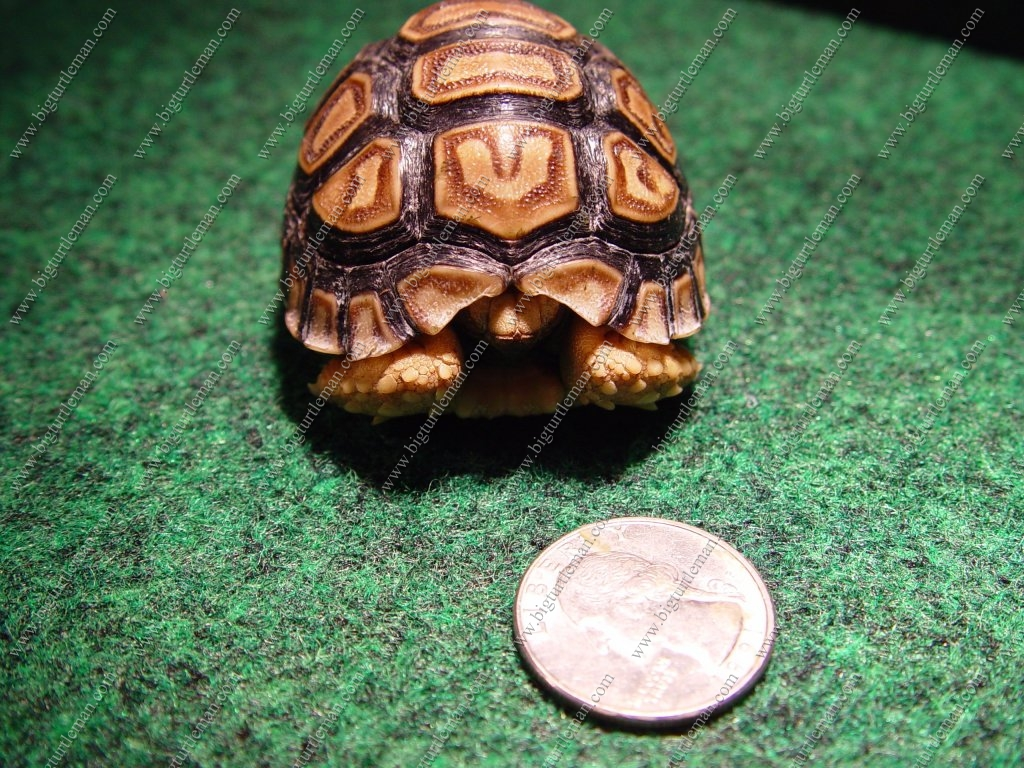 Turtle and tortoise facts leopard tortoise fact sheet